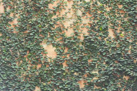 bordered: ivy leaves