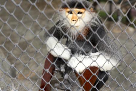 part prison: Red-shanked douc langur Stock Photo