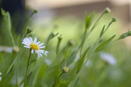 marguerite: chamomile flowers Stock Photo