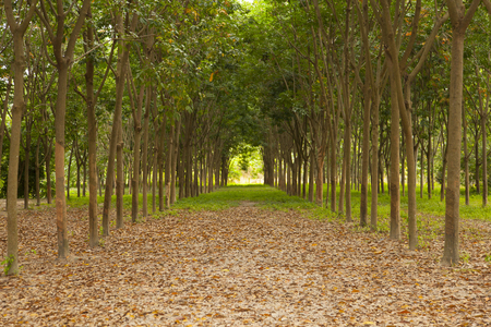 Rows of rubber trees being tapped in a plantation