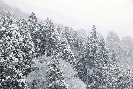 Spruce and Snow-Covered