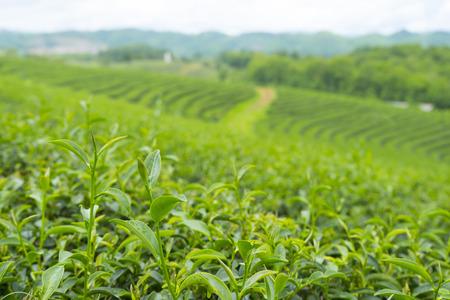 tea leave in plantation