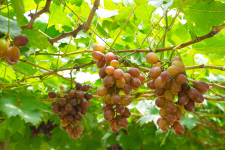 Purplish-red grapes with green leaves on the vine