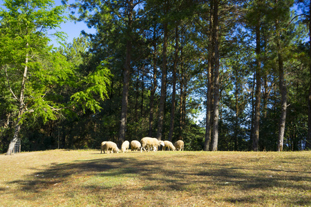 Sheep graze in the hills Stock Photo
