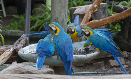 A pair of blue-and-yellow macaws perching at wood branch in jungle.