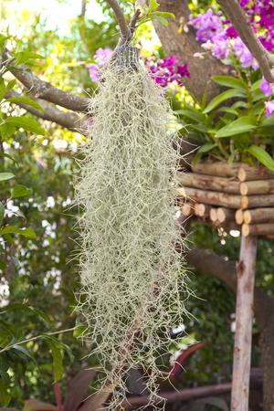 Spanish moss grows on tree Stock Photo