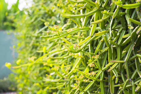 fresh green Cissus quadrangularis plant in nature garden