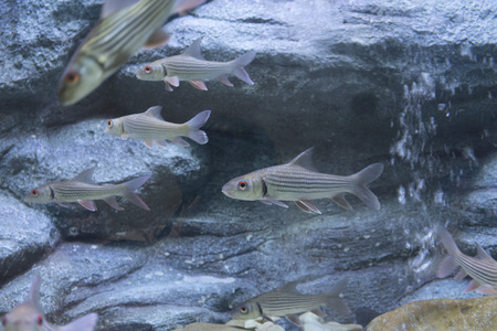 Seven stripped carp in aquarium Stok Fotoğraf