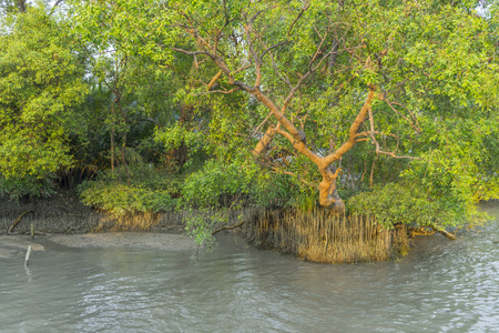 Mangrove trees along the river. The roots of mangrove trees in the mangrove forest in the tropical forest