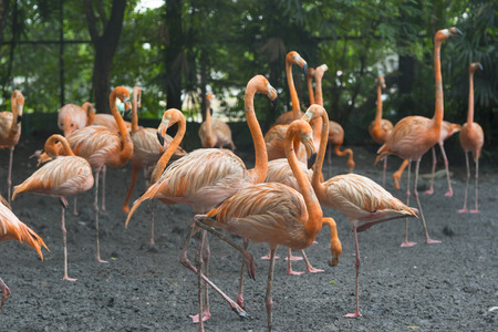 Group of colorful adult flamingos standing next to a pond