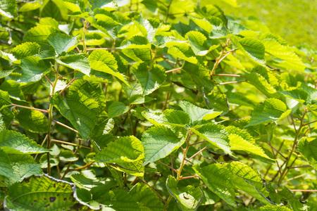 Ramie leaf in spring garden Stock Photo