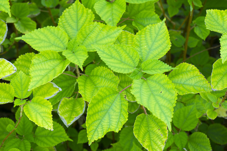 Ramie leaf in spring garden Stock Photo
