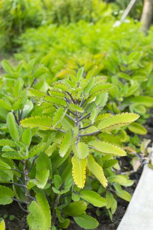 Miracle leaf (Bryophyllum pinnatum). The plant is a succulent plant.