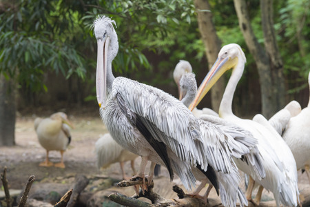 White Pelican , Pelecanus onocrotalus, also known as the Eastern White Pelican, Rosy Pelican is a bird in the pelican family