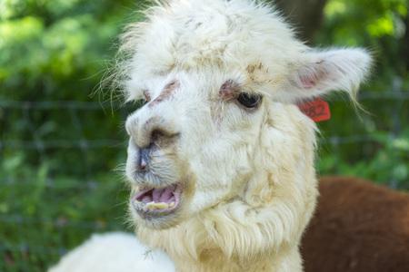 White funny Lama alpaca in New Zealand Archivio Fotografico