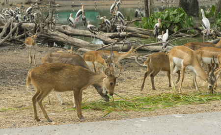 group of wild dear in the zoo ,Thailand.