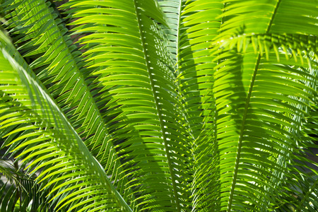 close up of green Nipa Palm leave with sunlight ,abstract view.