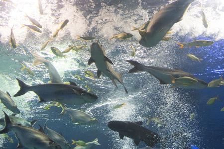 Iridescent shark, Striped catfish or Sutchi catfish in fish tank