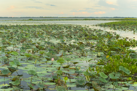 lotus at Bueng Boraphet Swamp, Nakhorn Sawan, Thailand