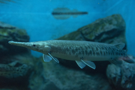 Alligator gar fish in aquarium tank. Stock Photo