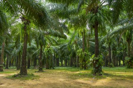 Palmas de aceite en una plantación de palma de aceite