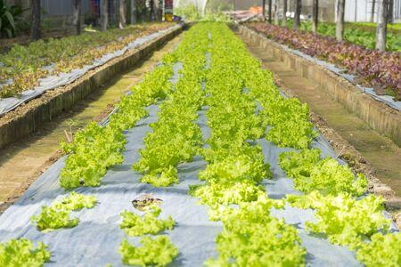 Green Oak on the hydroponics Farm,Organic Vegetable farm.