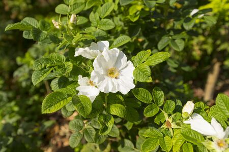 Wild white rose, Rosa Rugosa (Alba Plena) flower in the garden.