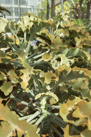 Felt bush or Kalanchoe beharensis plant in the greenhouse. Zdjęcie Seryjne
