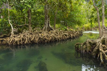 Pristine and tranquil mangrove swamp of Tha Pom Khlong Song Nam in Krabi, Thailand