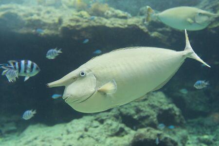 White surgeonfish (Acanthurus lineatus) in aquarium tank.