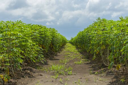 Cassava plantation farm with blue sky in a farm