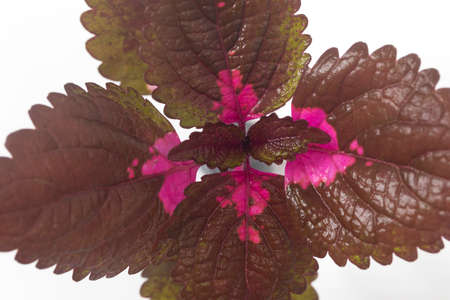 Close-up of Coleus leaves on white background.
