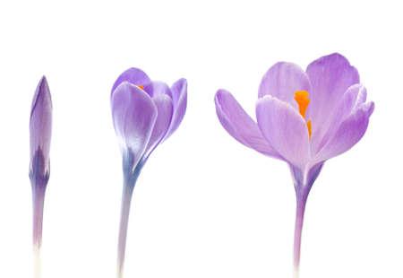 Crocus flower in 3 stadiums of blooming