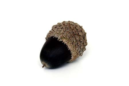 A solo acorn inside the shell