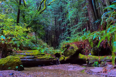 californian: Quiet stream in Californian Redwood forest