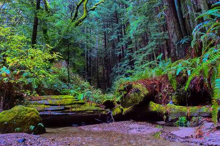 fern  large fern: Quiet stream in Californian Redwood forest