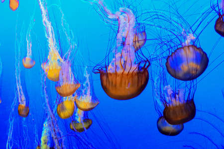 downward: Beautiful bell Chrysaora Cnidaria floating in a downward pattern