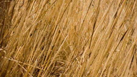 californian: Tall Californian grass background Stock Photo