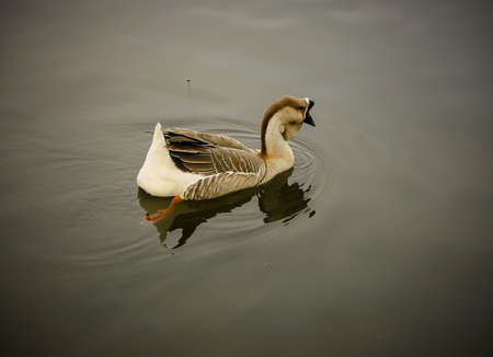 pato real: Hermosa del pato silvestre en la charca