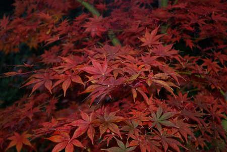Red Japanese Maple Standard-Bild
