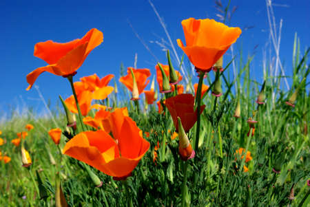 California Poppy And Blue Sky