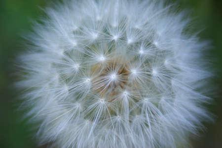 A single giant dandelion seed head.