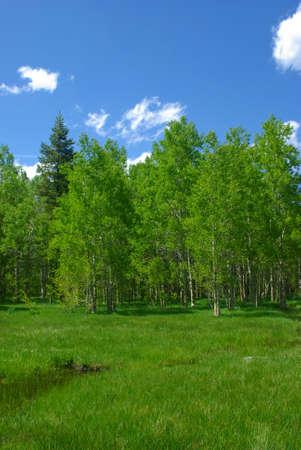 high sierra: A bright green high Sierra meadow in Springtime.