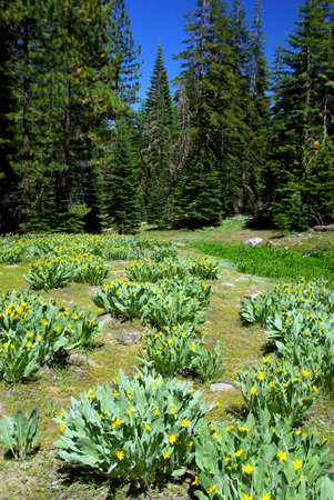high sierra: A high Sierra meadow in springtime with wild dandelions flowering against a deep blue sky.