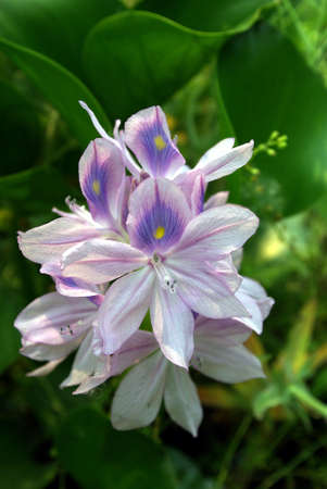 Closeup of water hyacinth flowers showing detail on the stamin. Banco de Imagens