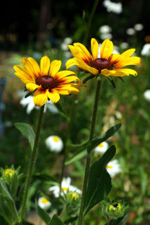 susan: Two Black-Eyed Susan flowers on a field of green.