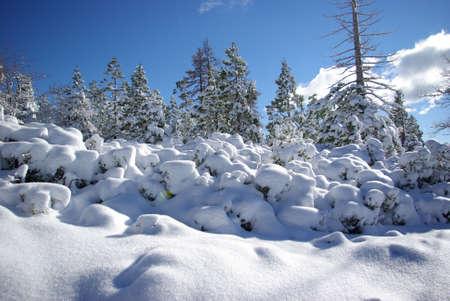 sierra snow: Trees covered in fresh snow in the Sierra Crystal Range