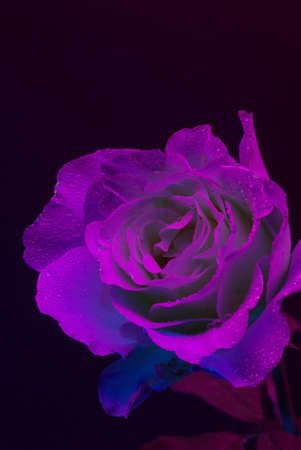 ultraviolet: A Rose photphraphed under Ultraviolet light with hungreds of small water dropletts