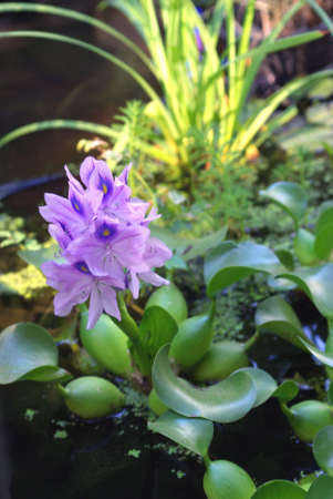 Water Hyacinth in full bloom in a small pond with other water plants.