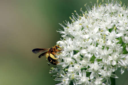 stamin: A brown and yellow wasp on an onion flower head.